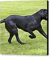 Black Labrador Playing Canvas Print by Johan De Meester