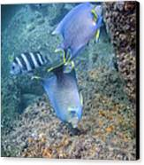 Blue Angelfish Feeding On Coral Canvas Print by Michael Wood