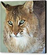 Blue Eyed Bobcat Canvas Print by Jennifer  King