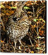 Blue Grouse Canvas Print by Robert Bales