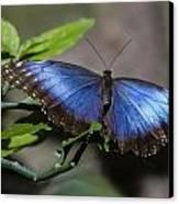 Blue Morph Butterfly Canvas Print by Sven Brogren