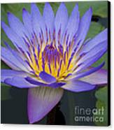 Blue Water Lily - Nymphaea Canvas Print by Heiko Koehrer-Wagner