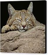 Bobcat, Arizona Canvas Print by Art Wolfe