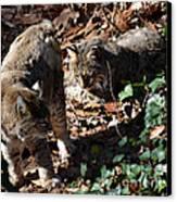 Bobcat Couple Canvas Print by Eva Thomas