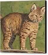 Bobcat Kitten Canvas Print by Crista Forest