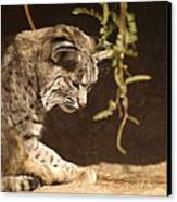 Bobcat Canvas Print by James Peterson