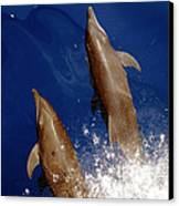 Bottlenose Dolphins Tursiops Truncatus Canvas Print by Anonymous