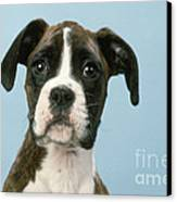 Boxer Dog, Close-up Of Head Canvas Print by John Daniels