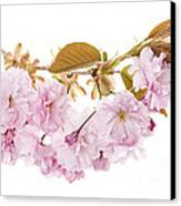 Branch With Cherry Blossoms Canvas Print by Elena Elisseeva