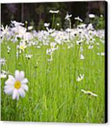 Brilliant Daisies Canvas Print by Aaron Aldrich