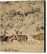 Buck And His Harem Canvas Print by Loree Johnson