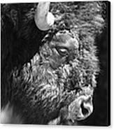 Buffalo Portrait Canvas Print by Robert Frederick