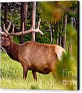 Bull Elk Canvas Print by Bill Gallagher