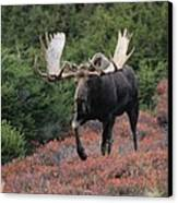 Bull Moose In Autumn Canvas Print by Tim Grams