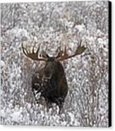 Bull Moose In Snow Canvas Print by Tim Grams