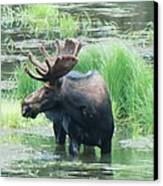Bull Moose In The Wild Canvas Print by Feva  Fotos
