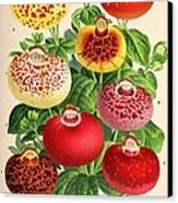 Calceolaria From A Vintage Belgian Book Of Flora. Canvas Print by Unknown