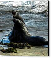 California - Elephant Seals Of Big Sur 006 Canvas Print by Lance Vaughn