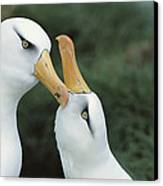 Campbell Albatrosses Courting Campbell Canvas Print by Tui De Roy