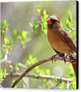 Cardinal In Spring Canvas Print by Sandi OReilly