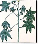 Castor Oil Plant Canvas Print by Indian School