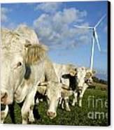 Cattle Canvas Print by Bernard Jaubert