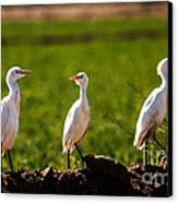 Cattle Egrets Canvas Print by Robert Bales