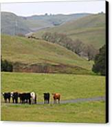 Cattles At Fernandez Ranch California - 5d21062 Canvas Print by Wingsdomain Art and Photography