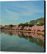 Cherry Blossoms 2013 - 087 Canvas Print by Metro DC Photography