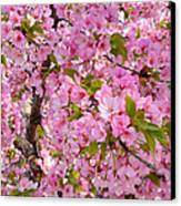 Cherry Blossoms 2013 - 097 Canvas Print by Metro DC Photography