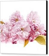 Cherry Blossoms Arrangement Canvas Print by Elena Elisseeva