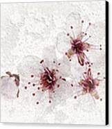 Cherry Blossoms Close Up Canvas Print by Elena Elisseeva