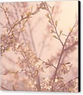 Cherry Blossoms Canvas Print by Diane Diederich