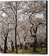 Cherry Blossoms - Washington Dc - 011378 Canvas Print by DC Photographer