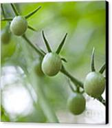 Cherry Tomatoes Canvas Print by Kay Pickens
