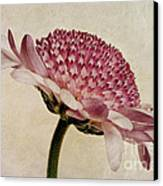 Chrysanthemum Domino Pink Canvas Print by John Edwards