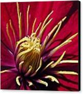 Clematis Center In Oils Canvas Print by Chris Berry