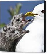 Close Up Of A Mew Gull With Two Hungry Canvas Print by Ken Baehr