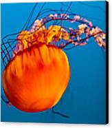 Close Up Of A Sea Nettle Jellyfis Canvas Print by Eti Reid