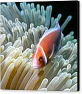 Clownfish 9 Canvas Print by Dawn Eshelman
