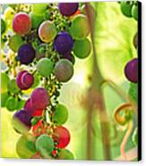 Colorful Grapes Canvas Print by Peggy Collins