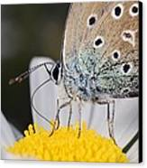 Common Blue Butterfly Canvas Print by Science Photo Library