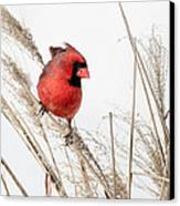 Common Northern Cardinal Square Canvas Print by Bill Wakeley