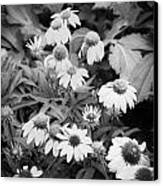 Coneflowers Echinacea Rudbeckia Bw Canvas Print by Rich Franco