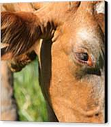 Cow Closeup 7d22391 Canvas Print by Wingsdomain Art and Photography