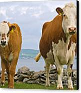 Cows Canvas Print by Terry Whittaker