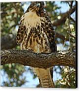 Curious Redtail Canvas Print by Donna Blackhall