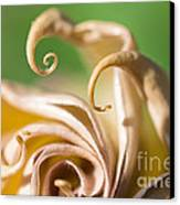 Curled Petals Canvas Print by Terry Rowe