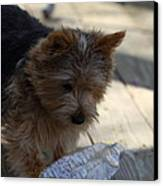 Cutest Dog Ever - Animal - 011311 Canvas Print by DC Photographer