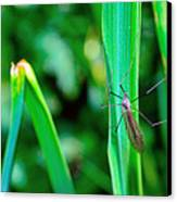 Daddy Long Legs  Canvas Print by Toppart Sweden